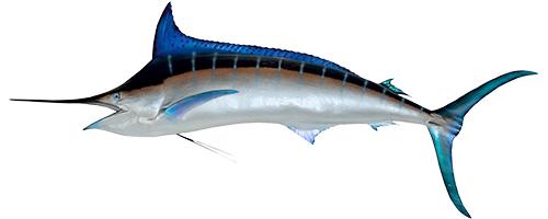 Blue Marlin (Aʻu B)