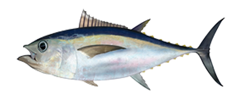 Bigeye Tuna (Mebachi)