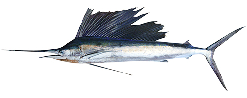 Sailfish (Aʻu S)