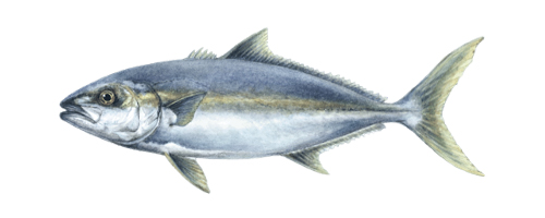 Amberjack (Kahala)