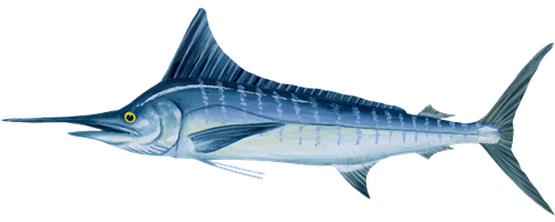 Striped Marlin (Nairagi)